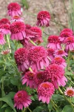Echinacea Secret Afeir