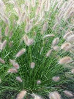 Penissetum Autumn Magic