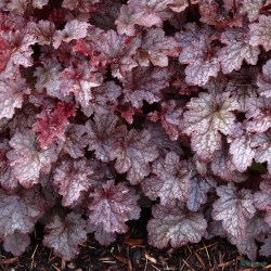 heuchera_plum_pudding