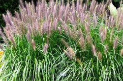 pennisetum-alopecuroides-red-head
