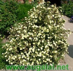 potentilla-fruticosa-mount-everest